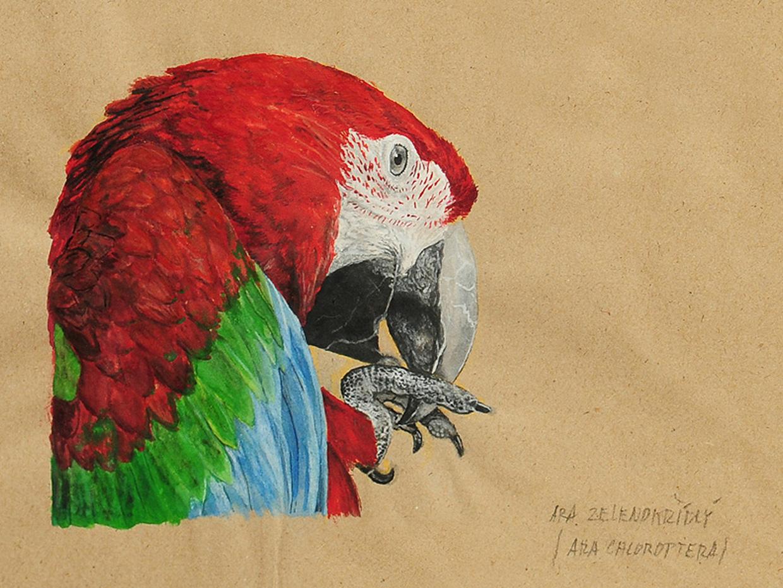 Ara zelenokřídlý (ara chloroptera)
